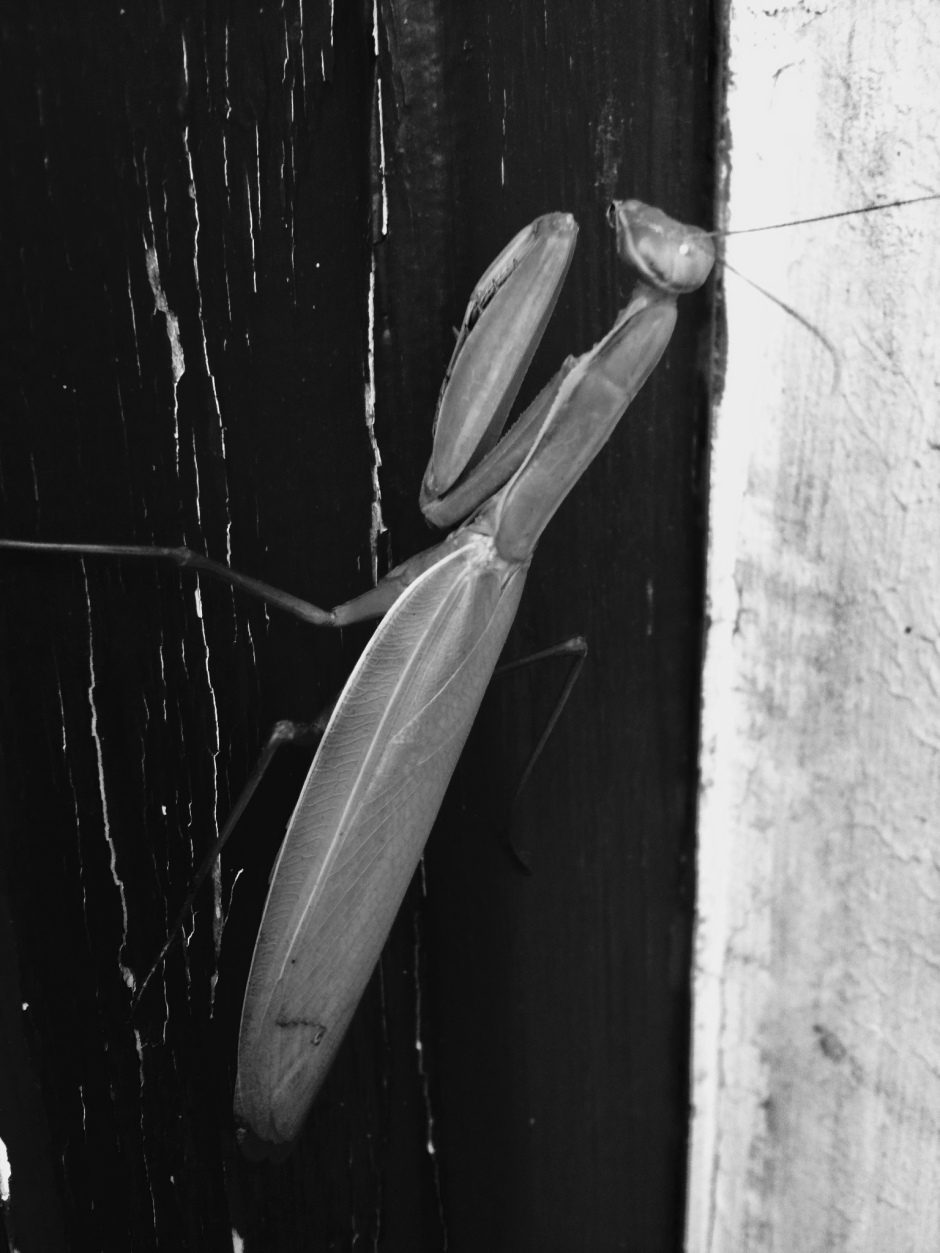 Praying Mantis black and white